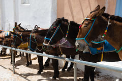 Santorini donkeys, Greece Royalty Free Stock Photo