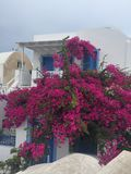 Santorini Flowers Romantic Island Greece. Santorini Flowers Greece Romantic Weeding Honeymoon Birthday Royalty Free Stock Images