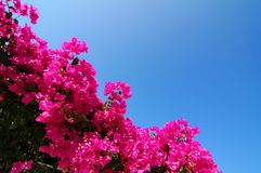 Santorini Greece. Pink flower bush in Santorini, Greece Stock Image