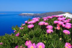 Spring, caldera and Oia, Santorini, Greece. Santorini, Greece spring panoramic blue sea caldera, pink flowers and Oia on background royalty free stock image