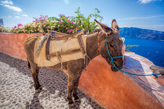 Santorini island with donkey in Oia village, Greece Stock Images
