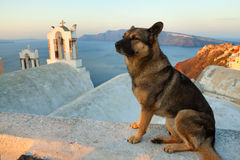Santorini street dog Stock Images