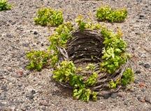 Santorini vine basket in spring stock images