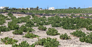 Santorini vineyard Stock Image