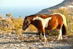 Santorinis ponny Royaltyfria Foton