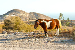 Santorinis ponny arkivbild