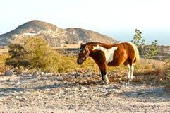 Santorinis Pony Stockfotografie
