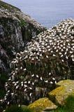 Santuário do pássaro do St. Mary do cabo em Newfo fotografia de stock