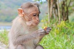 Santuario de fauna admitido mono divertido de Periyar Fotografía de archivo