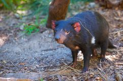 Santuario de Healesville del diablo tasmano imagenes de archivo
