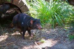 Santuario de Healesville del diablo tasmano imagen de archivo libre de regalías