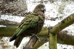 Santuario de Kea In Recovery At Bird, Nueva Zelanda Foto de archivo
