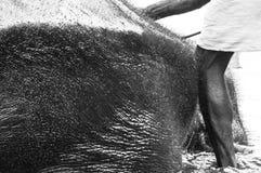 Santuario del elefante de Kodanad - baño del elefante en curso - blanco y negro imagen de archivo libre de regalías