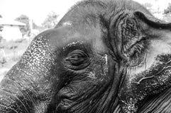 Santuario del elefante de Kodanad - baño del elefante en curso con el ojo y el oído - blanco y negro imagen de archivo