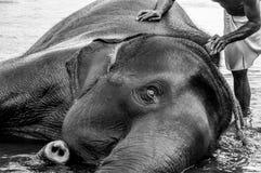 Santuario del elefante de Kodanad - baño del elefante en curso con el tronco que alcanza hacia espectador - blanco y negro fotografía de archivo