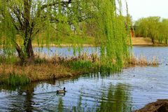 Santuario del pato Foto de archivo libre de regalías
