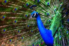 Santuario di fauna selvatica di Currumbin del pavone Fotografie Stock