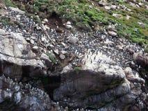 Santuario di uccello dei puffini Fotografie Stock Libere da Diritti