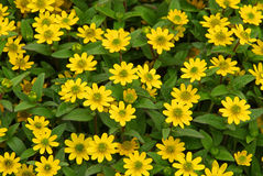 Sanvitalia procumbens Stock Image