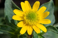 Sanvitalia procumbens - The creeping zinnias. Are plants belonging to the sunflower family. They are native to mostly to Mexico, with a few species in Central royalty free stock images
