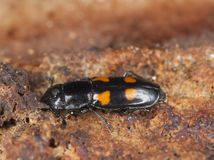 Sap beetle (Glischrochilus hortensis) Stock Photos
