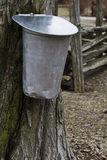 Sap bucket hangs from maple tree Royalty Free Stock Photo