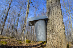 Sap Bucket on Tree Royalty Free Stock Image