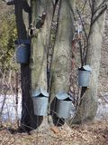 Sap buckets. Hanging on a group of trees Stock Photo