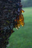 Sap from Cherry Tree. Sap Dripping from Cherry Tree Royalty Free Stock Images