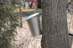 Sap Collection Pails on Maple Trees Stock Photos