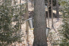 Sap Collection Pails on Maple Trees Royalty Free Stock Photos