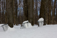 The sap of maple trees. The sap of maple trees are harvested to make syrup royalty free stock photography