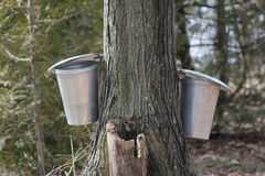 Sap Pails on Tree Royalty Free Stock Photos