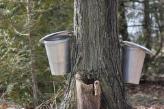 Sap Pails on Tree Royalty Free Stock Image