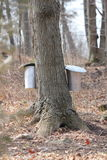 Sap Pails on Tree Royalty Free Stock Photo