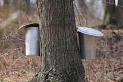 Sap Pails on Tree Stock Images