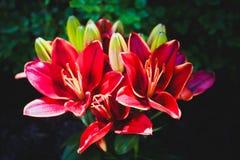 Sap rode bloem Royalty-vrije Stock Foto's
