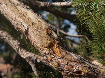 Sap. Tree sap along the branch of an evergreen in Utah Royalty Free Stock Images