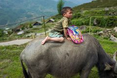 Sapa,越南- 2018年4月25日:地方孩子在Sapa乘坐水牛 免版税库存照片