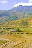 Sapa hill tribe rice terraced fields. Traditional hill tribe rice crops in Sapa, Vietnam royalty free stock photos