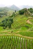 Sapa Reis-Paddy Stockbilder