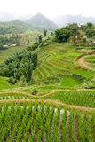 Sapa Rice Paddy Stock Images