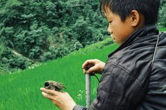 young boy with his injured small bird in front of rice fields royalty free stock images