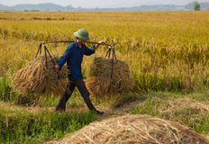 North Vietnamese farmer harvests field Royalty Free Stock Photography