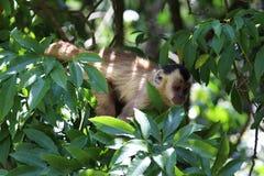 Sapajus在森林的apella猴子 库存照片
