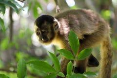 Sapajus małpa na drzewnym patrzeje puszku obrazy stock