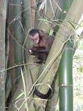 Sapajus nigritus. Capuchin Monkey (Sapajus nigritus) eating a peace of bananas Stock Photo