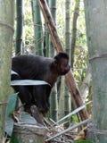 Sapajus nigritus. Capuchin Monkey (Sapajus nigritus) eating a peace of bananas Stock Images