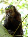 Sapajus nigritus. Capuchin Monkey (Sapajus nigritus) eating a peace of bananas Royalty Free Stock Images