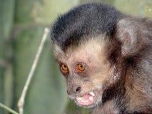 Sapajus nigritus. Capuchin Monkey (Sapajus nigritus) - Macaco Prego Stock Photo
